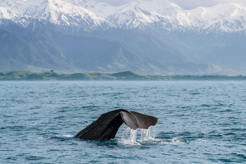 Kaikoura Wale Watching | Luxury Touring NZ